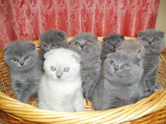 Хочу кота вислоухого