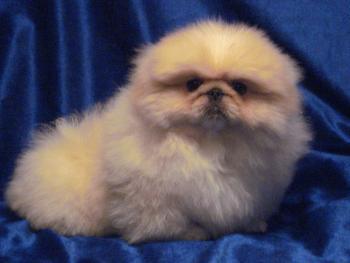 Как выглядит щенок пекинеса на