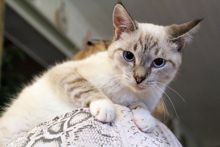 Thai kitten is a teenager, Ajax looking for a home