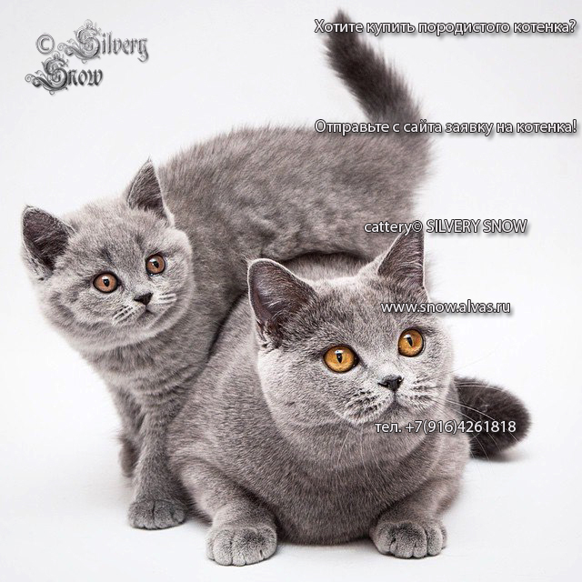 British blue podroschennye kittens from cattery Silvery Snow