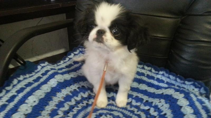 Tender cuties puppies Japanese hincii