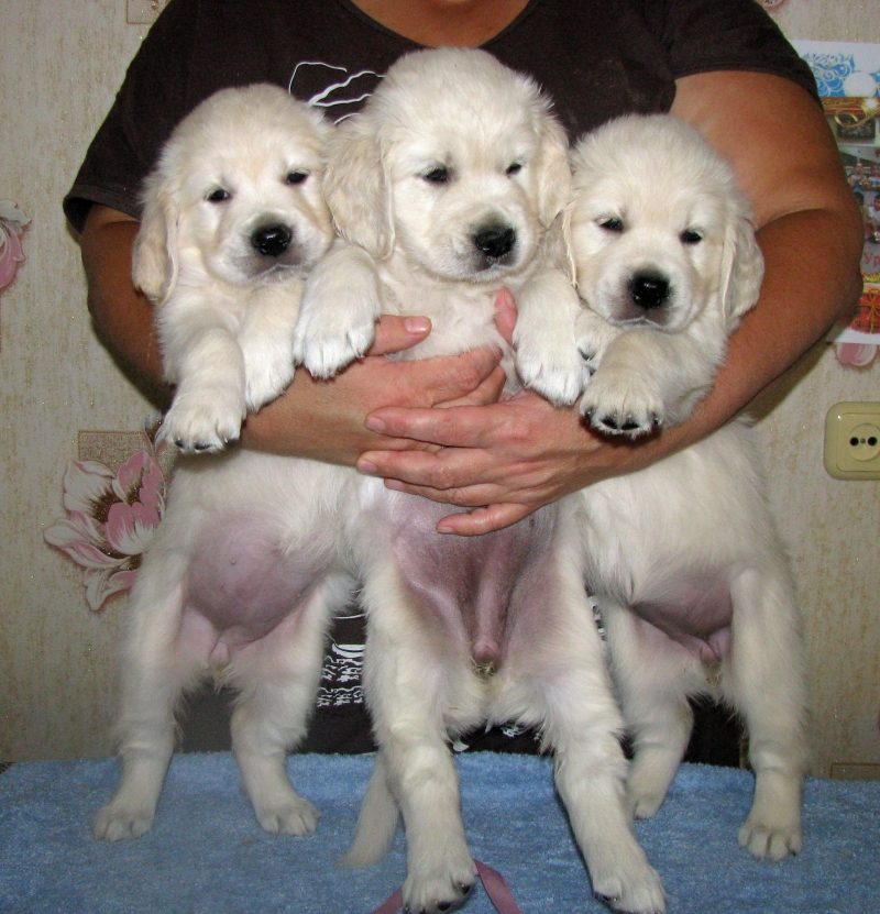 Puppies zolotistogo Retriever