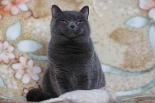 Purebred British cat