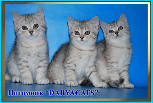 BRITISH KITTENS silver color FROM KENNEL DARYACATS