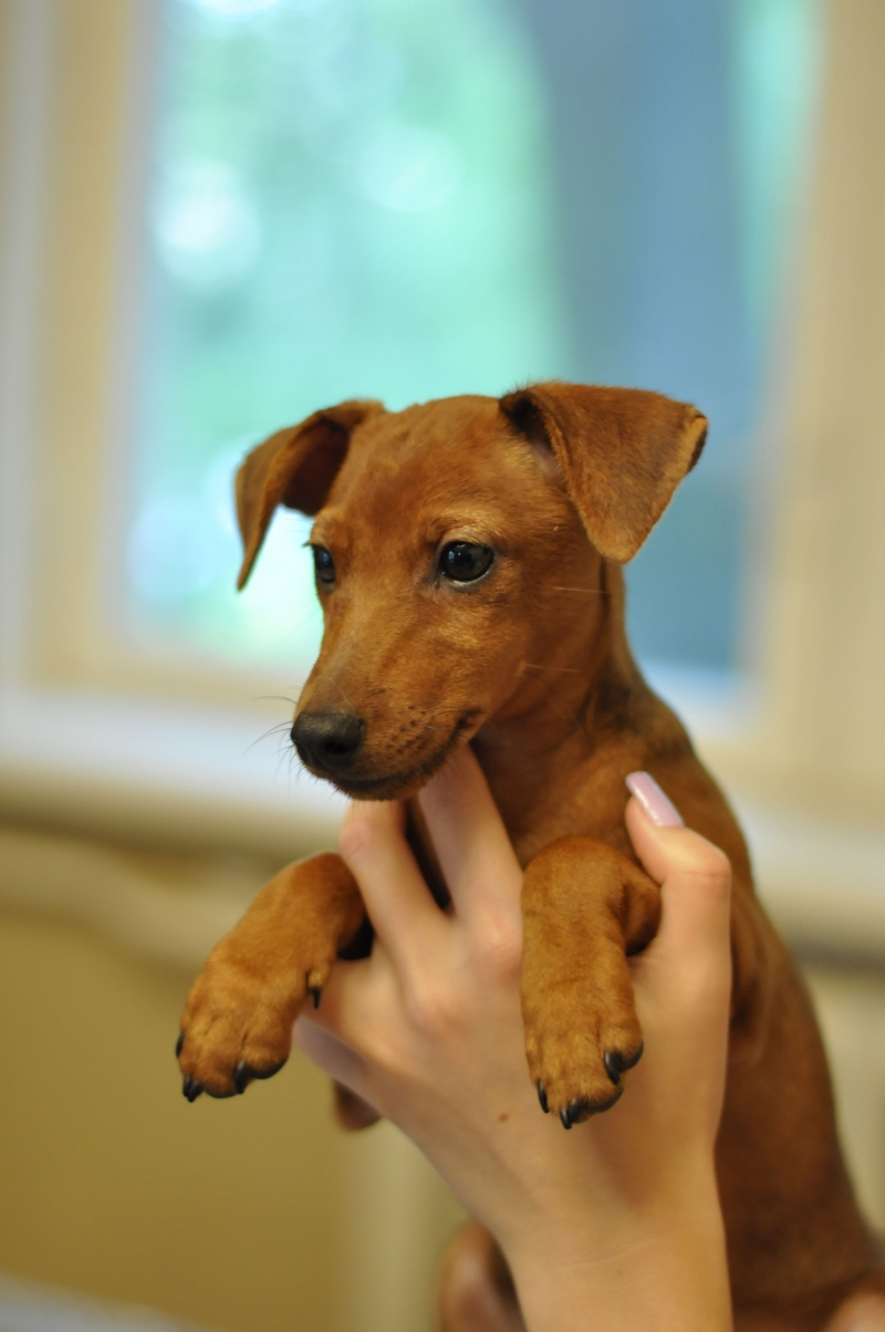 Puppy Zwergpinscher, documents RKF, urgent!!
