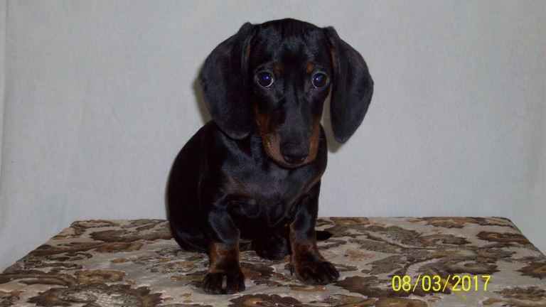 Charming puppy rabbit dachshunds