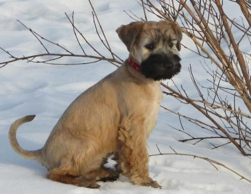 Puppies soft coated wheaten Terrier!