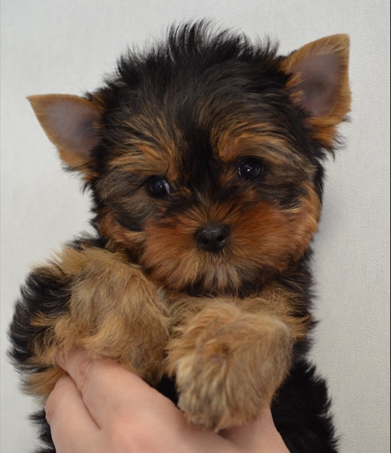 Yorkshire Terrier girl for sale