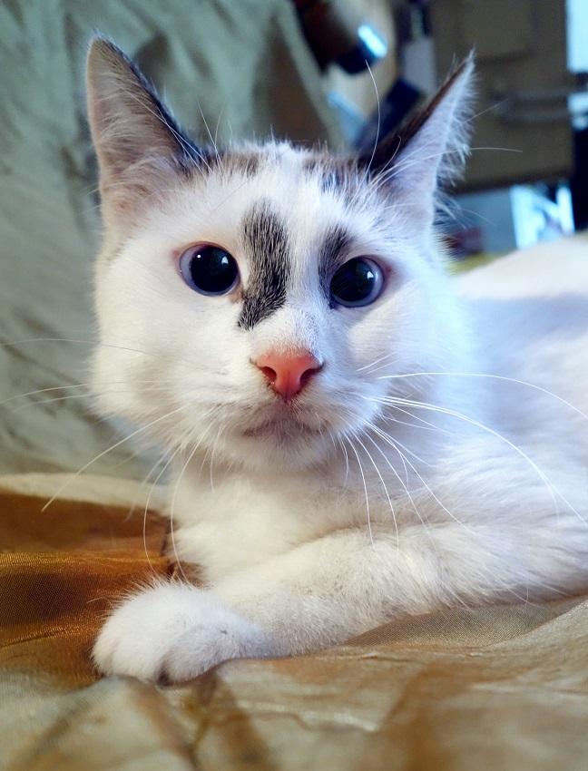 Aurora Thai blue-eyed kitten for a gift