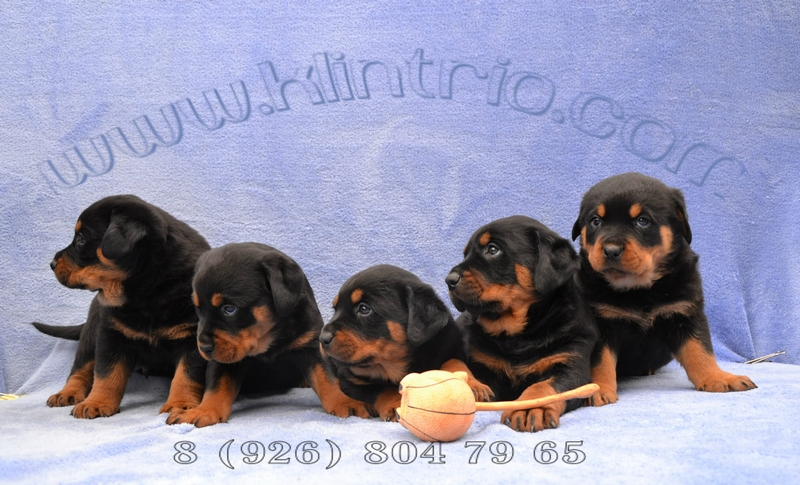 Puppies of a Rottweiler! From Champions