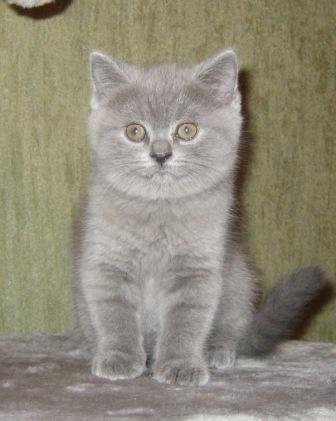 Sale British kittens