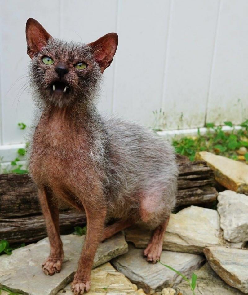Lika, cat werewolf