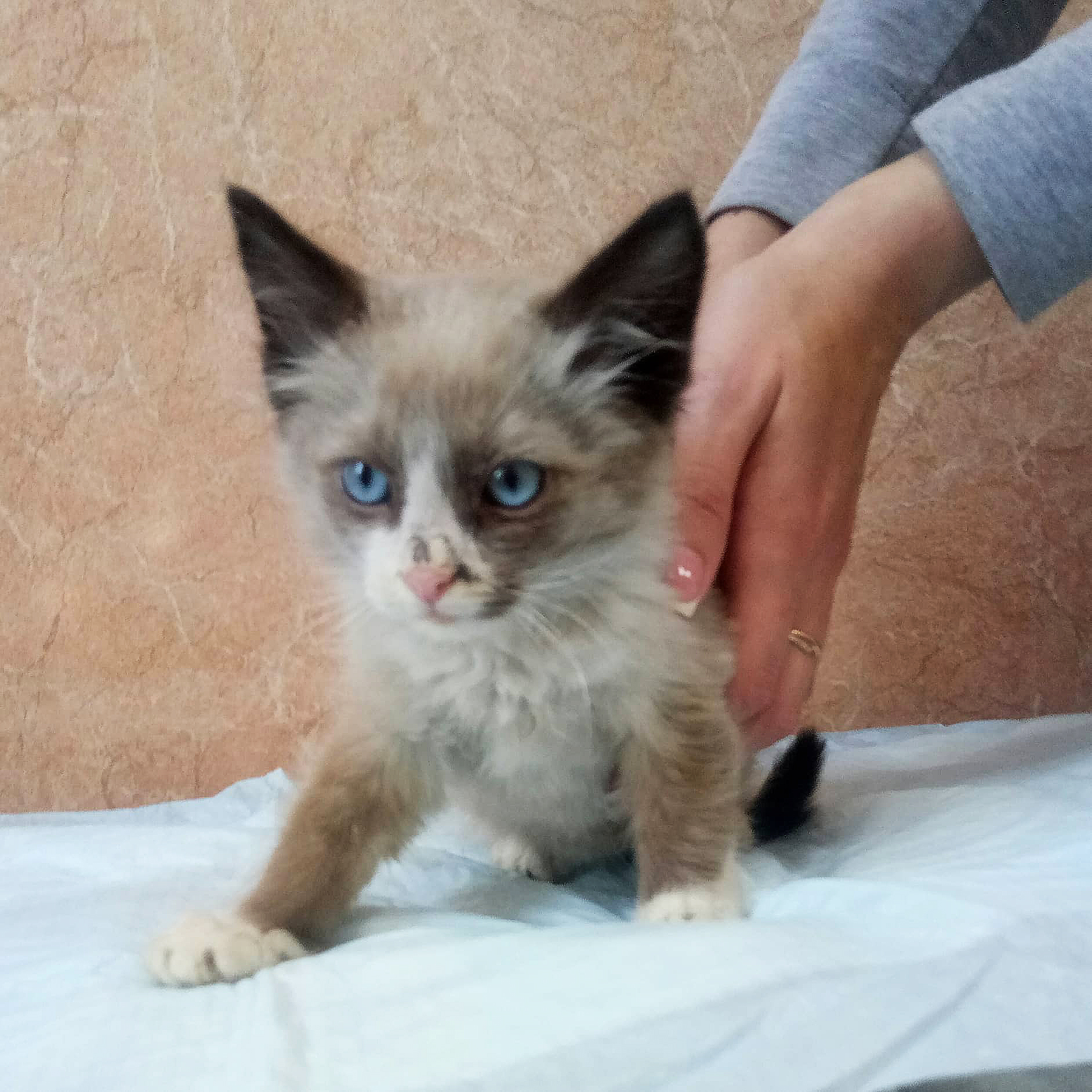 Adorable kitten with blue eyes like a half-breed, the Neva masquerade
