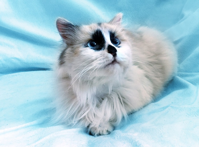 Charlotte the kitten-girl breed ragdoll looking for a home