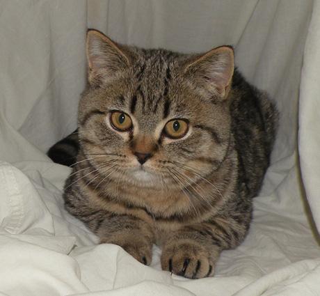 Potosina Scottish straight kitty