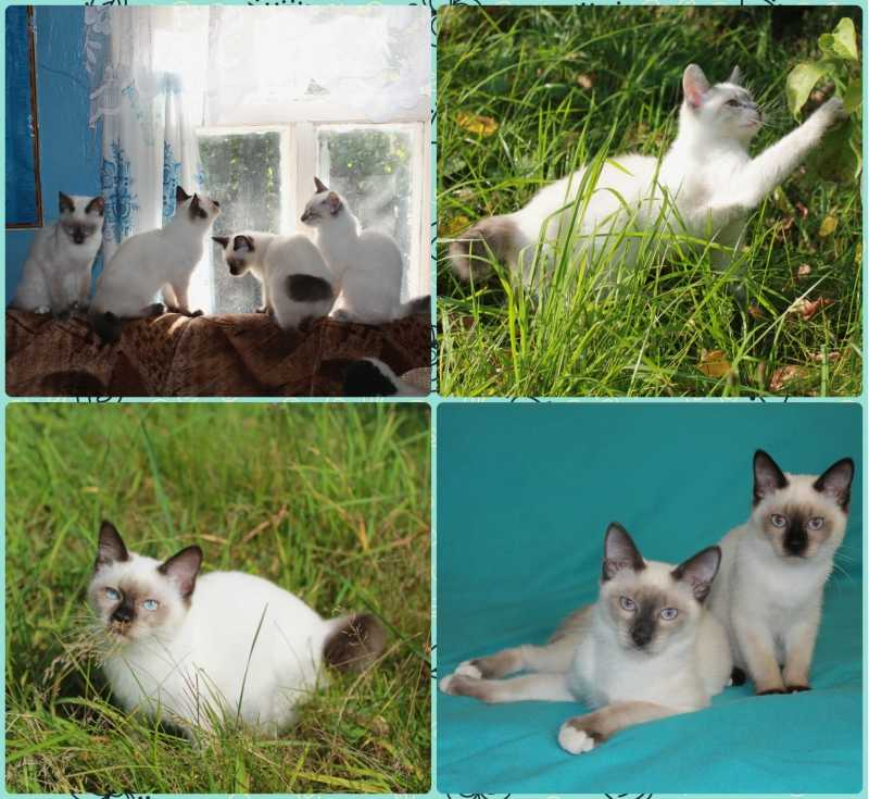 Kittens That Bob, of the smallest cat breeds in the world