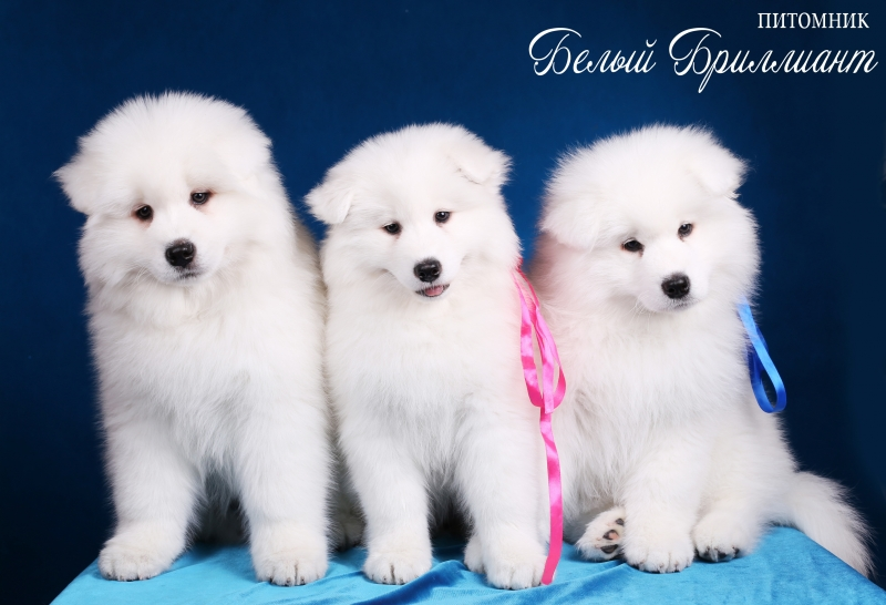 Puppies for sale Samoyed from elite parents