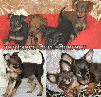 Russian Toy Terrier puppies brown/ tan