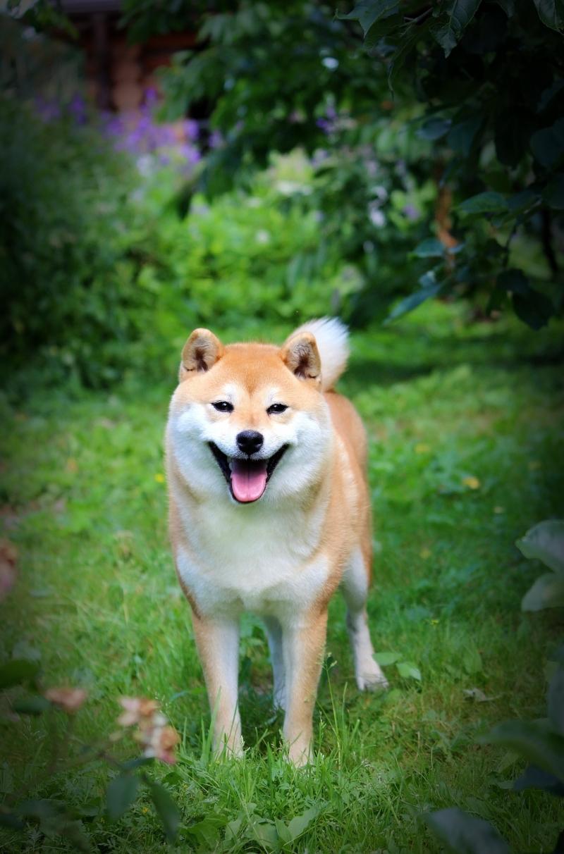 Shiba (Shiba ).inu puppies gir Ki and boys