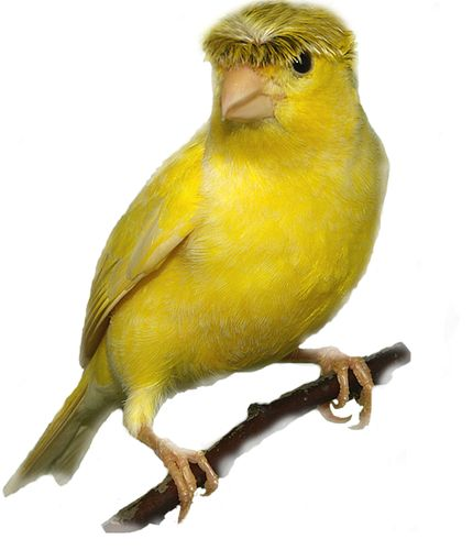 Sale Canaries