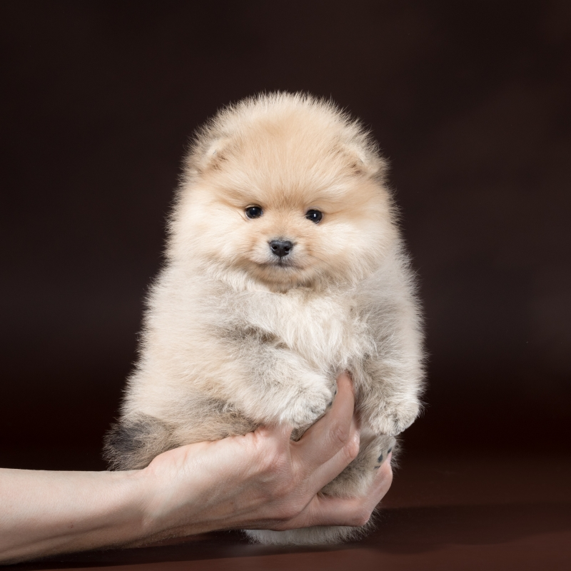 Puppies Pomeranian