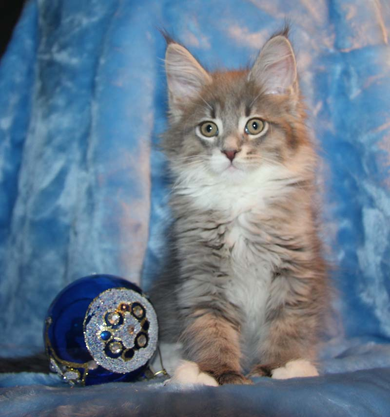 Fluffy kittens Maine coons are waiting for their owners!