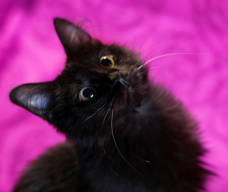 Looking for the family kitten Nafanya Blackie-Belous