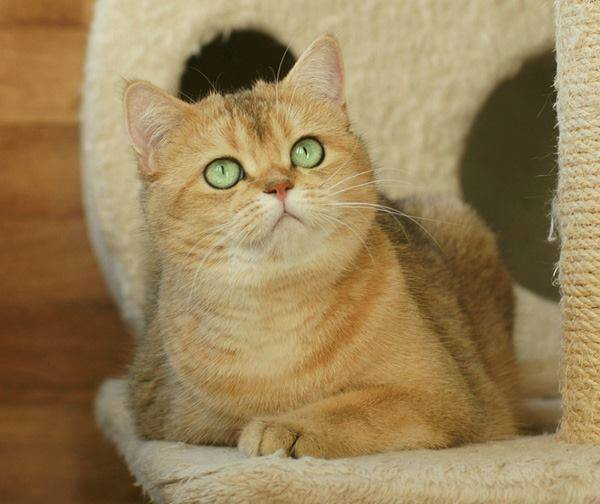 British Golden kitten
