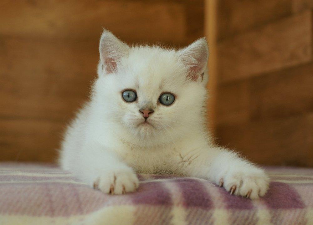 Kittens chinchilla-point