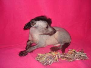 Возьму в дар щенка голой китайской хохлатый