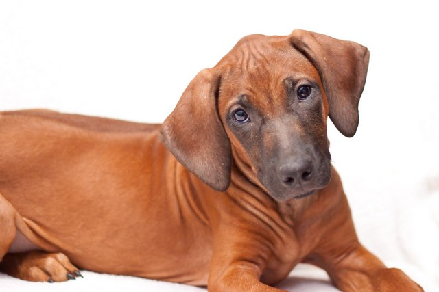 Puppies for sale Rhodesian Ridgeback