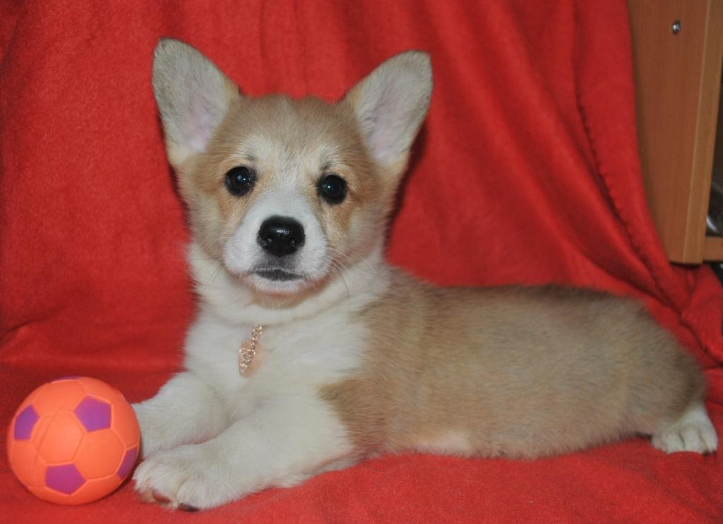 Welsh Corgi girl