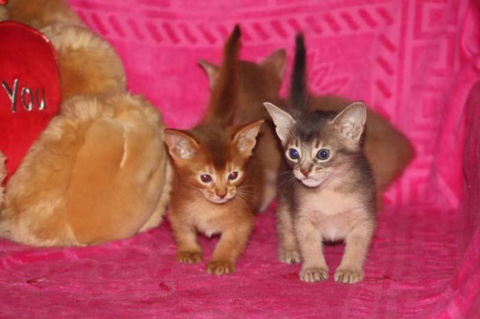 Уход за абиссинскими котятами