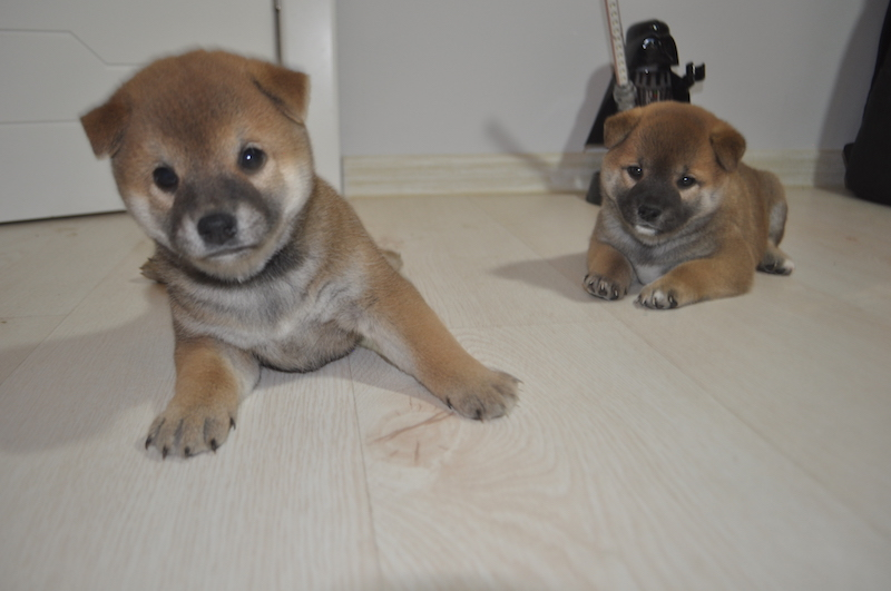 Puppies Shiba (Shiba) Inu for sale, all girls