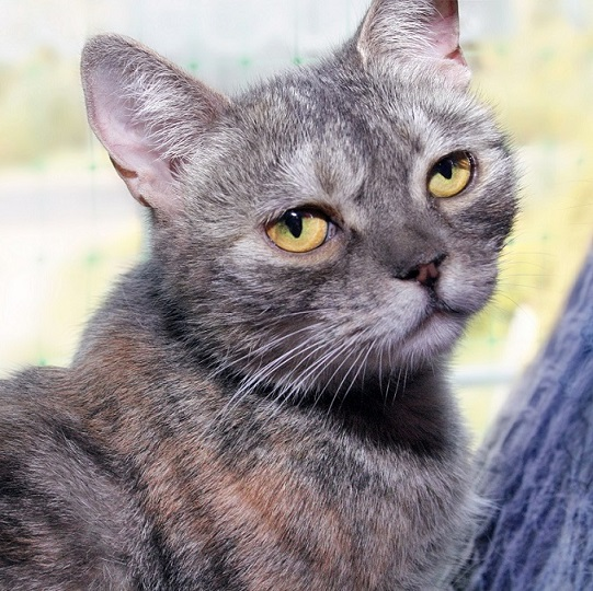 Weasel - the half-breed Oriental cats looking for a home