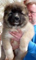 Caucasian shepherd for sale