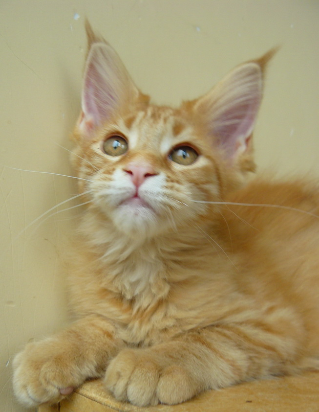 Cat Maine Coon 3 months for best owners