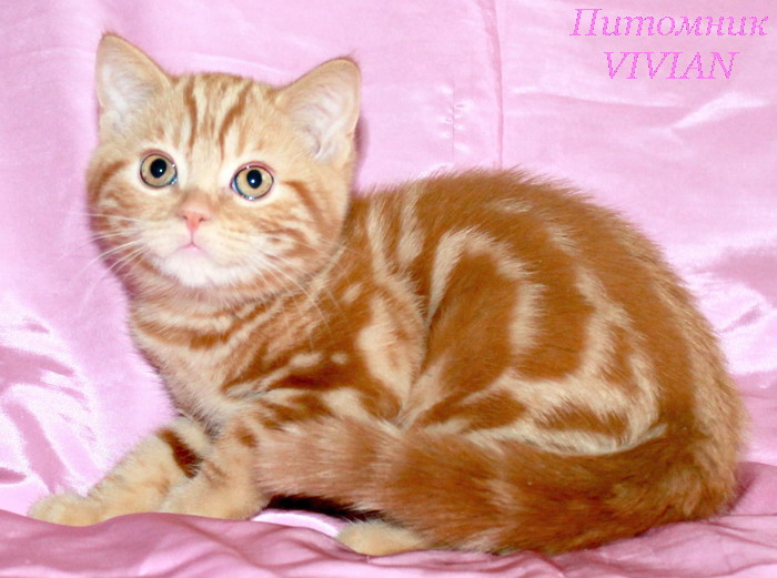 British red and cream kittens from cattery