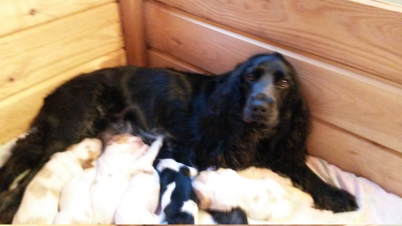 Sell Russian Spaniel puppies