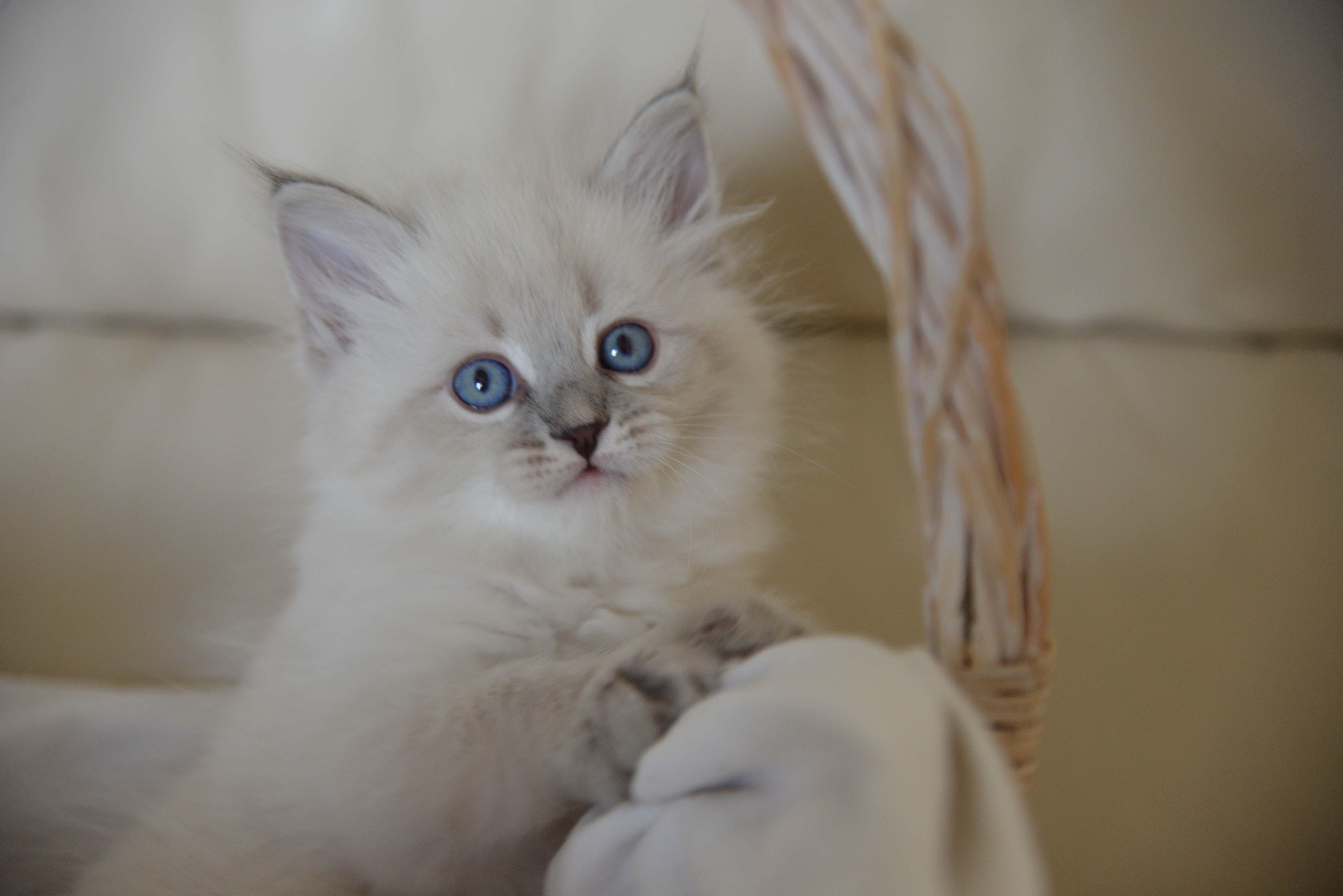 Selling Siberian - Neva masquerade kittens from cattery