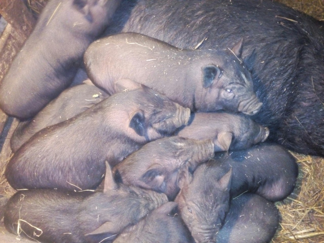 Purebred Vietnamese pigs