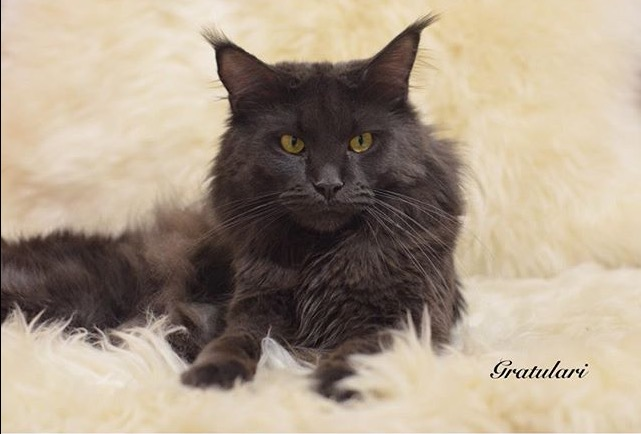 The Maine Coon cat for mating