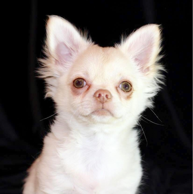 Sell a puppy Chihuahua