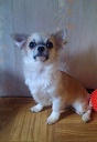 Chihuahua sale d/W boy