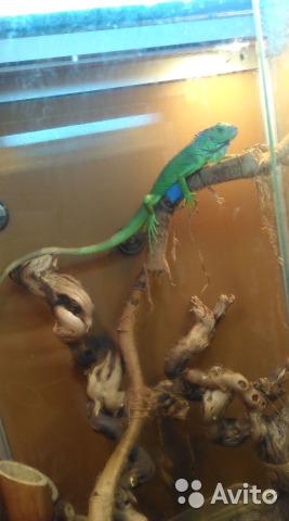 Green iguana, hand, girl. 2 years. With the terrarium 10 000