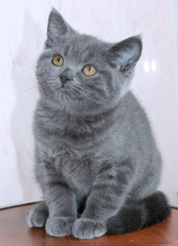 British blue girl from the nursery