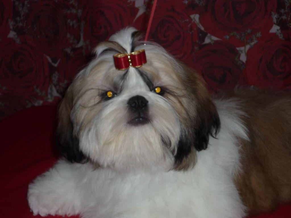 Shih Tzu puppies from champion Russia