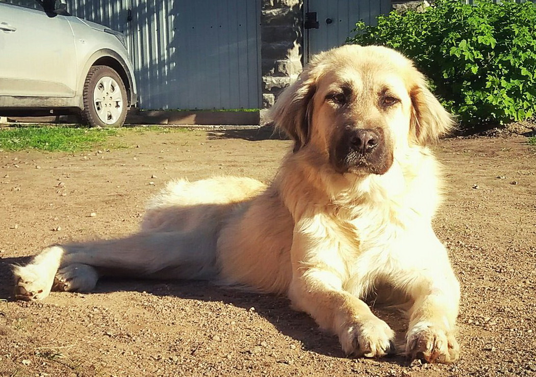 Golden-haired beauty dog Penelop.in search of a home