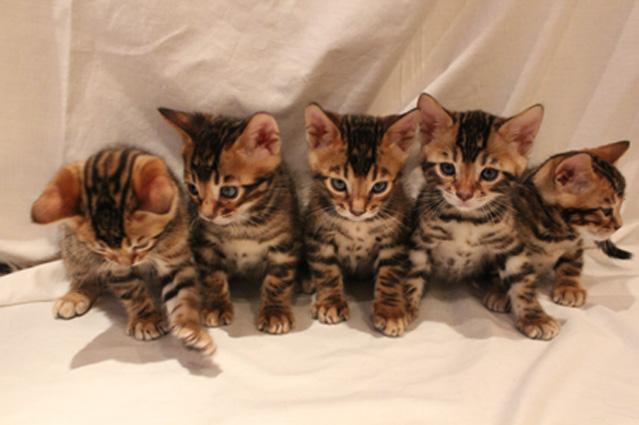 Gorgeous Bengal cats