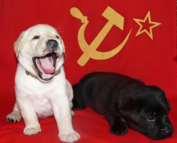 Фотография объявления щенки лабрадора